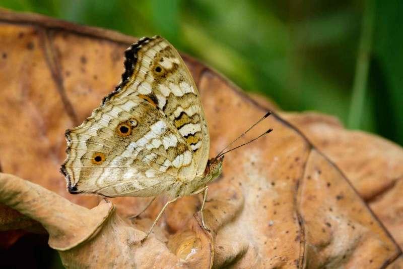 Brauner Schmetterling (Satyridae) auf trockenen Blättern