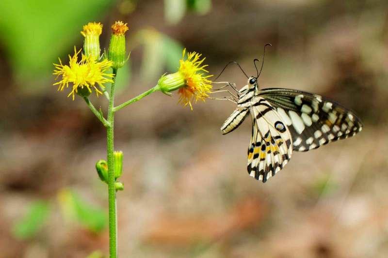Limettenschmetterling (Papilio demoleus) saugt Nektar von den Blumen