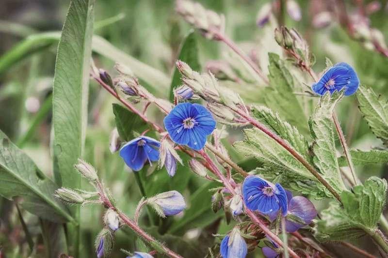 Blumen der Gattung  Veronica