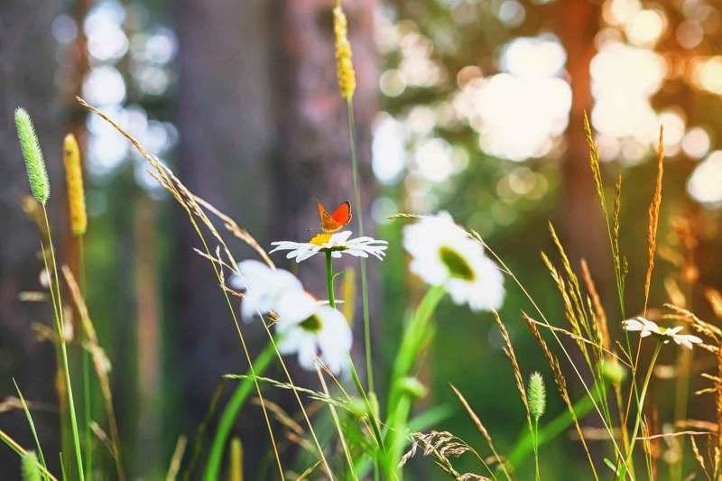 Roter Schmetterling auf einem Gänseblümchen im Sommerwald