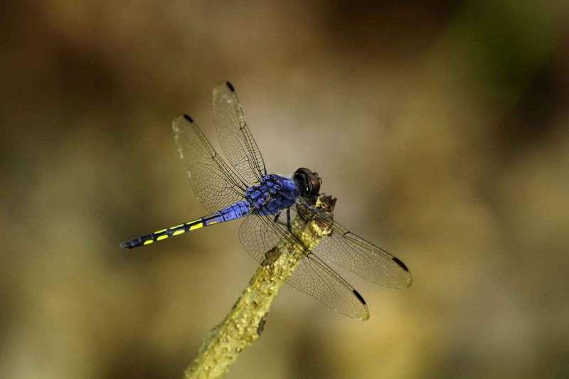 Schöne Libelle, die einen Zweig anfleigt