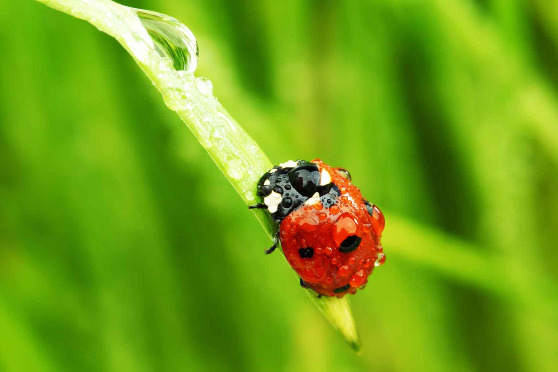 Marienkäfer auf Gras mit  Wassertropfen