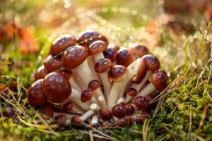 Honigpilze in einem sonnigen Wald im Regen