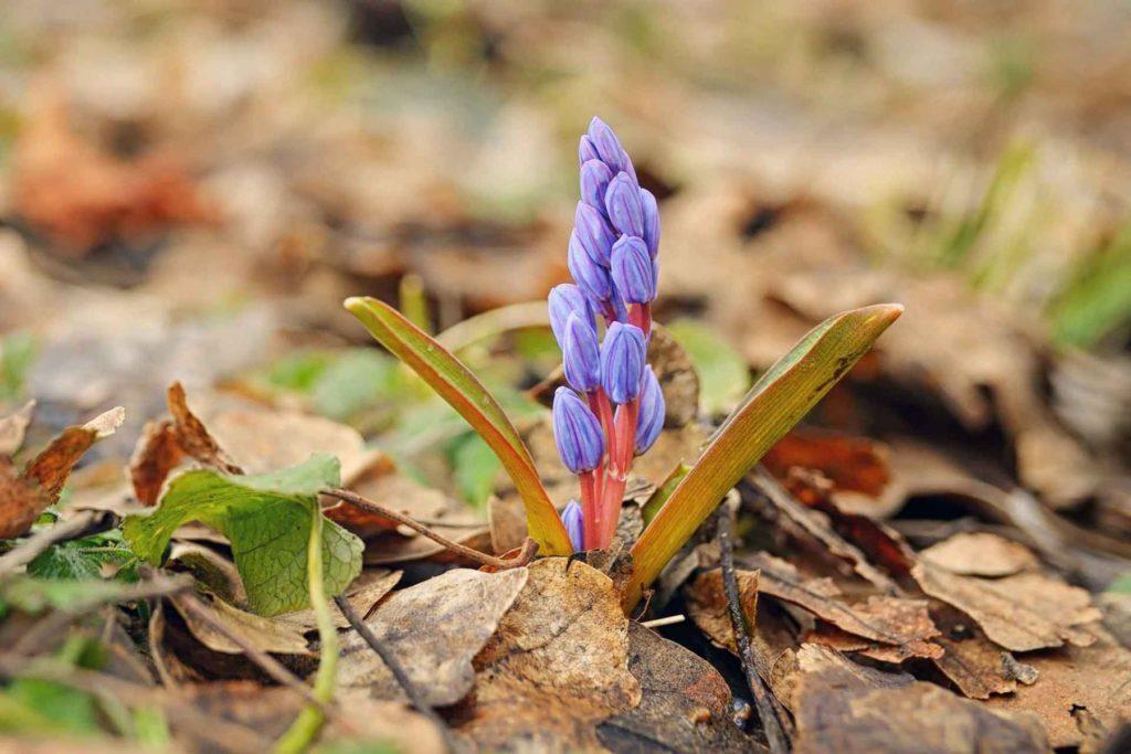 Frühling: violette Blüten im Wald