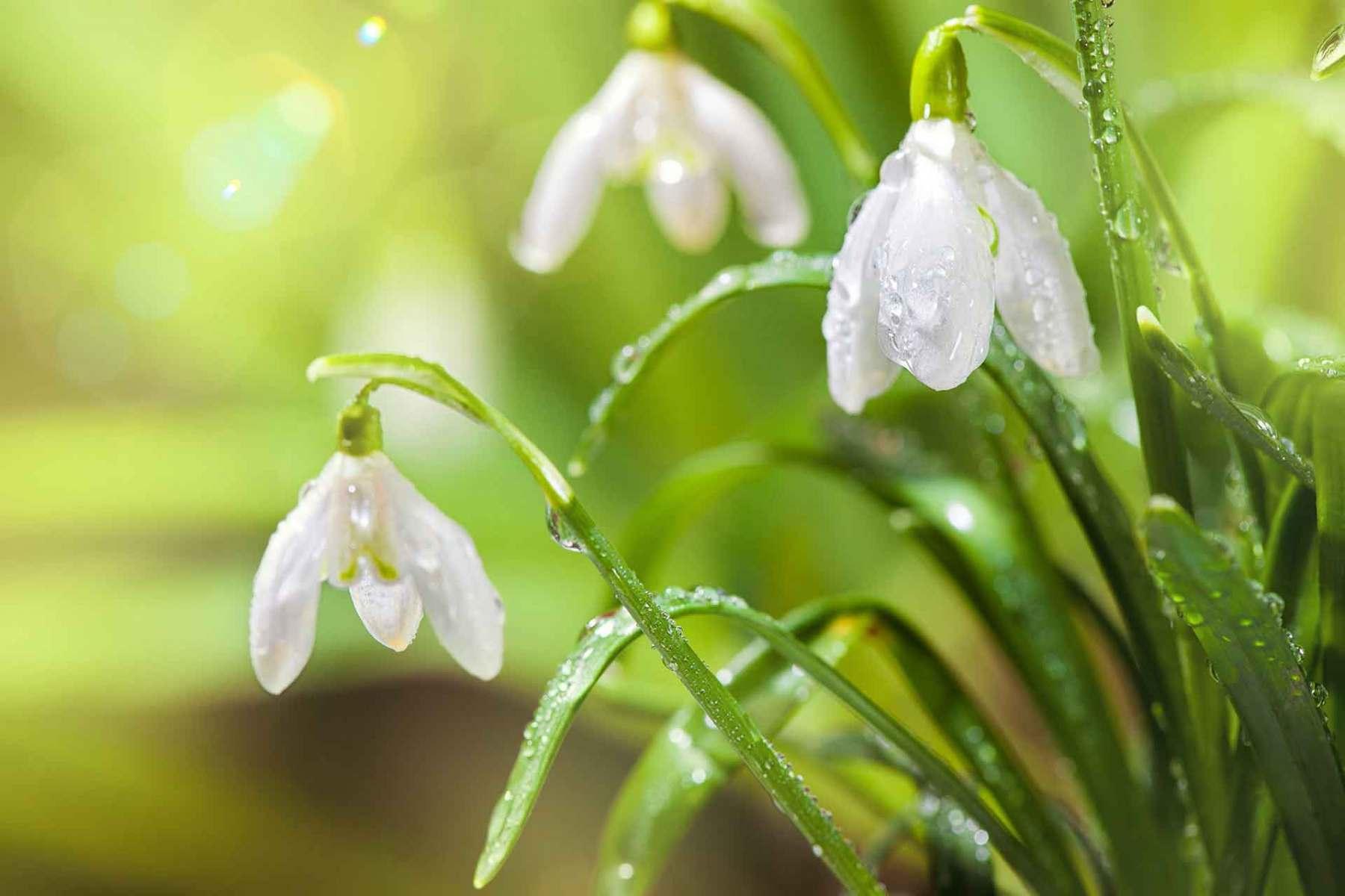 Schneeglöckchen mit Wassertropfen im Frühlingswald