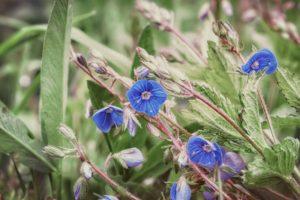 Wildes Vergissmeinnicht – blaue Blüten