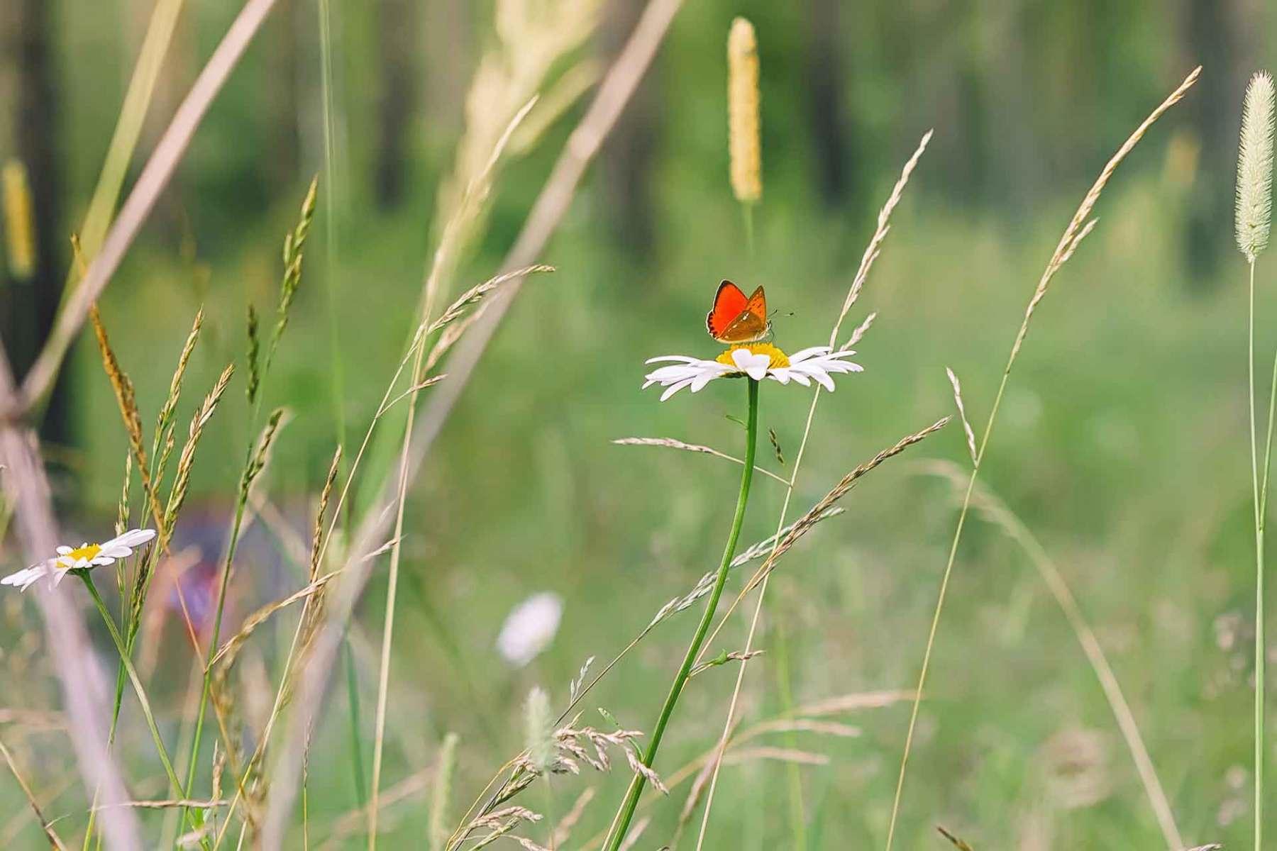 Roter Schmetterling auf einem Gänseblümchen