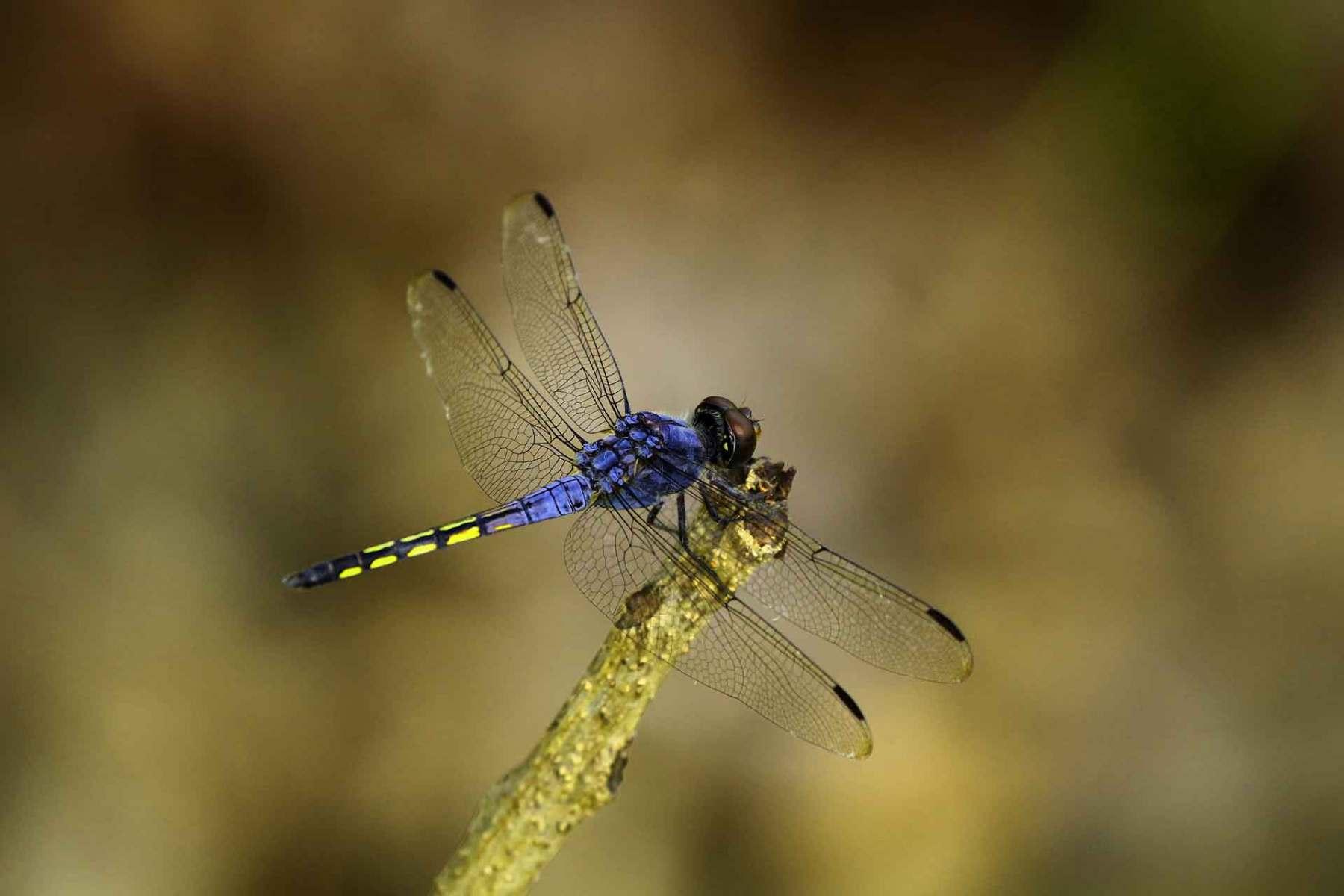 Schöne Libelle sucht Nahrung