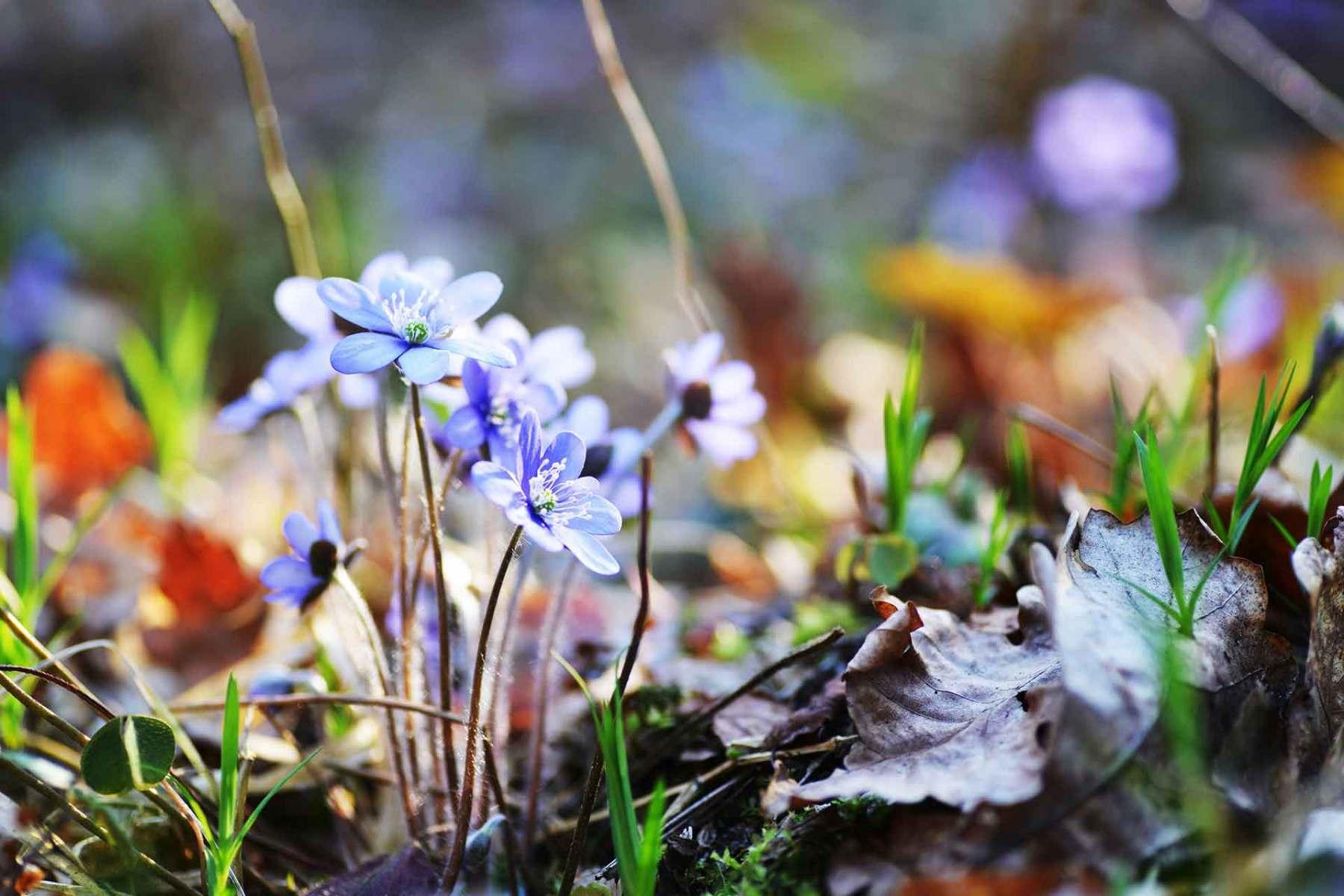 Blühendes Leberblümchen auf Waldlichtung im Frühjahr