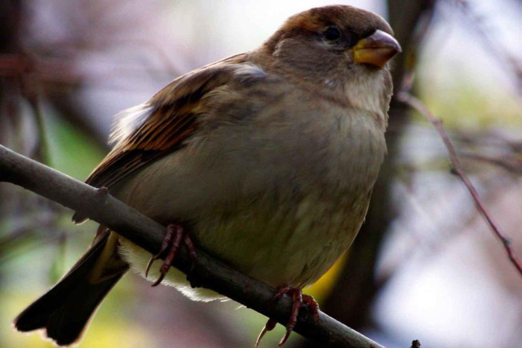 Spatz (Sperling) auf einem Zweig